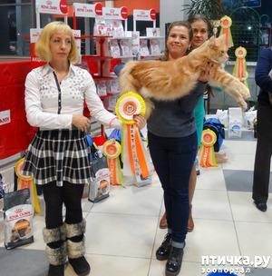 фото: Выставка кошек. Презентация породы Мейн-Кун питомник Silver Lynx.