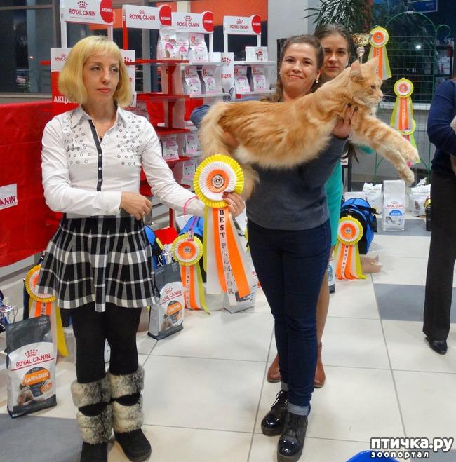 фото 1: Выставка кошек. Презентация породы Мейн-Кун питомник Silver Lynx.