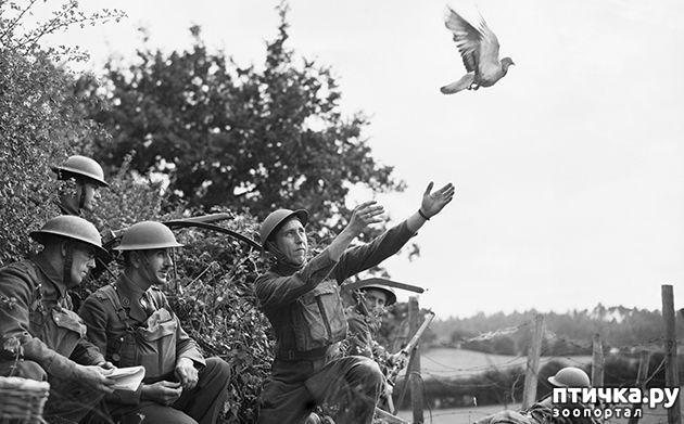 фото 6: Голуби-герои Первой и Второй мировой войны.