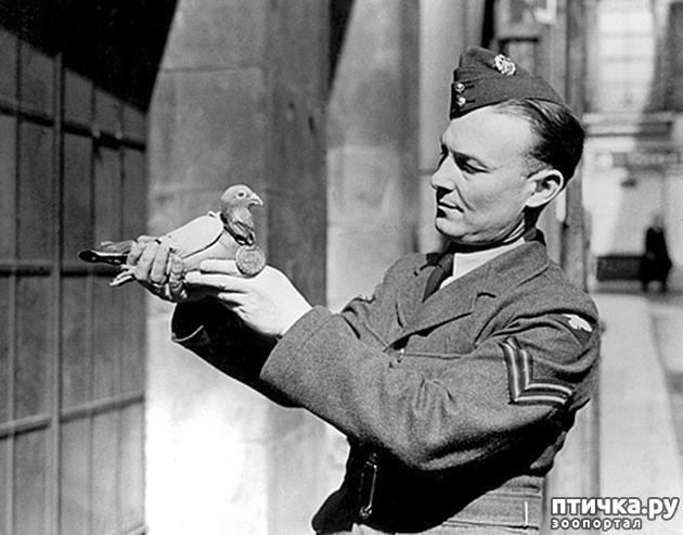 фото 7: Голуби-герои Первой и Второй мировой войны.
