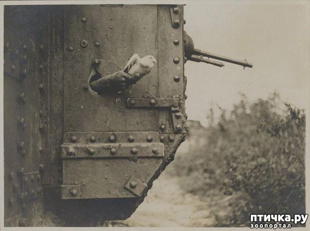 фото 8: Голуби-герои Первой и Второй мировой войны.