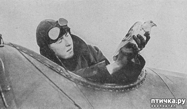 фото 10: Голуби-герои Первой и Второй мировой войны.