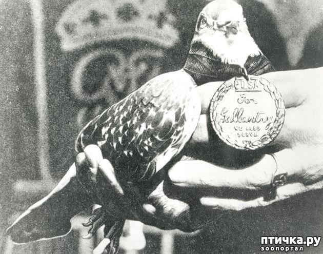 фото 11: Голуби-герои Первой и Второй мировой войны.
