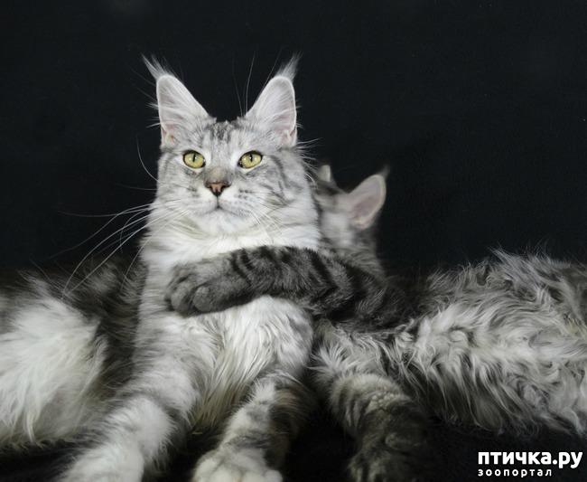фото 1: Рассказ о трех котятах мейн-кунах)