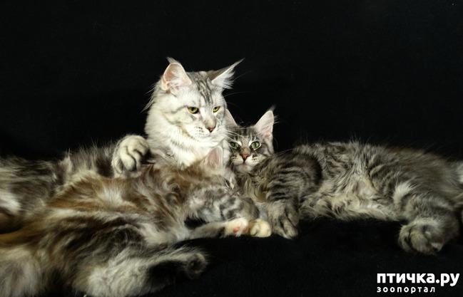 фото 4: Рассказ о трех котятах мейн-кунах)