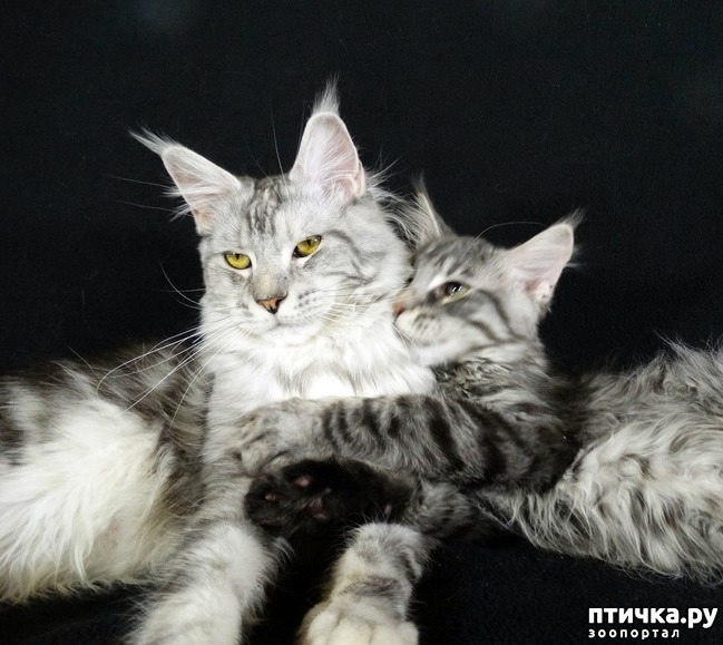 фото 2: Рассказ о трех котятах мейн-кунах)