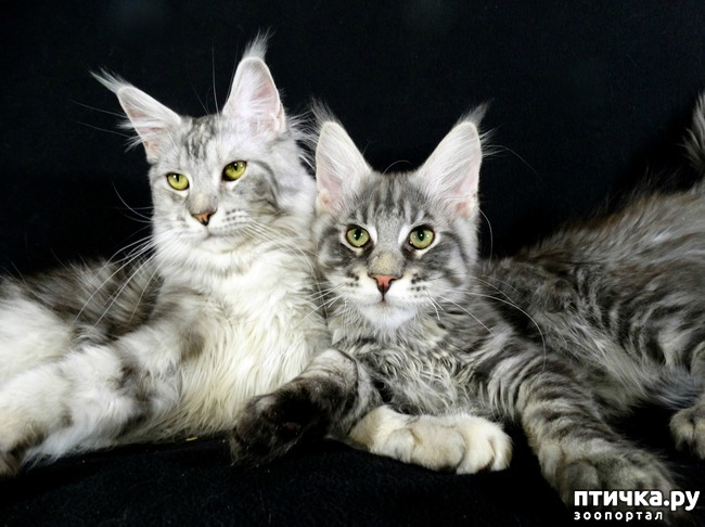 фото 3: Рассказ о трех котятах мейн-кунах)