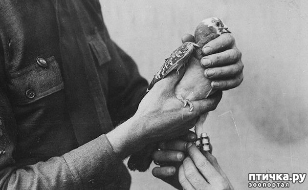 фото 14: Голуби-герои Первой и Второй мировой войны.