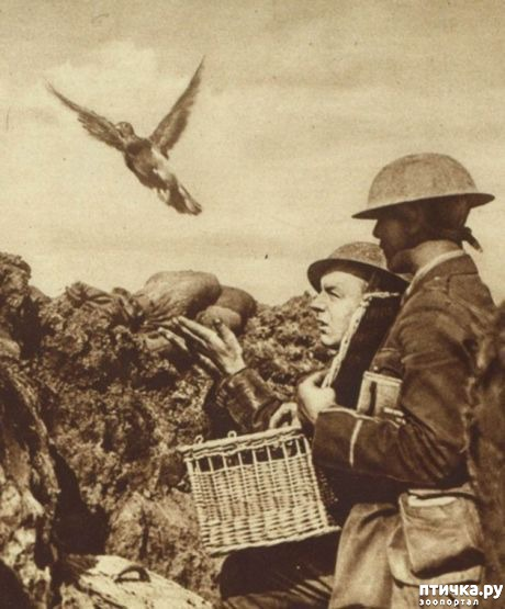 фото 16: Голуби-герои Первой и Второй мировой войны.