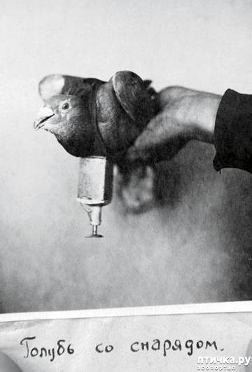 фото 18: Голуби-герои Первой и Второй мировой войны.