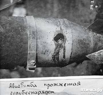 фото 19: Голуби-герои Первой и Второй мировой войны.