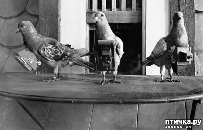 фото 1: Голуби-герои Первой и Второй мировой войны.