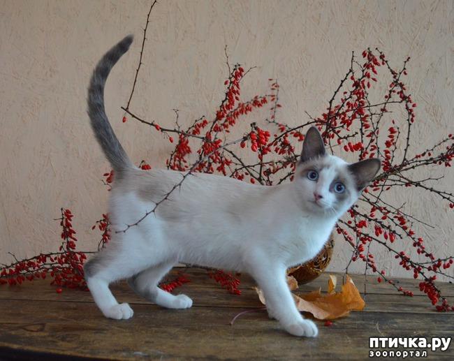 фото 1: Добро пожаловать в нашу новую группу про кошек Сноу-шу!