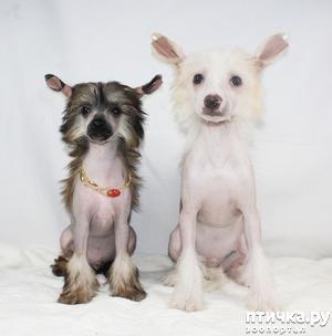 фото: Первое знакомство с породой китайская хохлатая собачка.