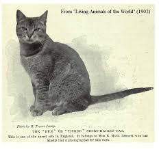 фото 2: История абиссинской породы. Версия третья - английская