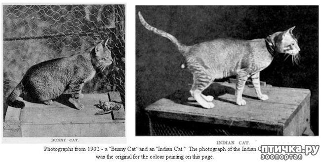 фото 4: История абиссинской породы. Версия третья - английская