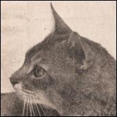 фото 6: История абиссинской породы. Версия третья - английская