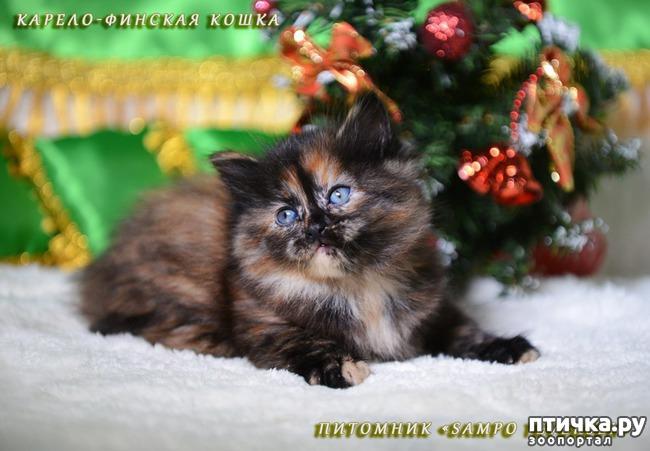 фото 6: Карельские котята, вот такие мы бываем!!