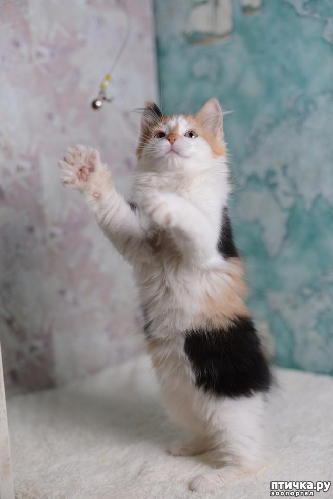 фото 7: Карельские котята, вот такие мы бываем!!