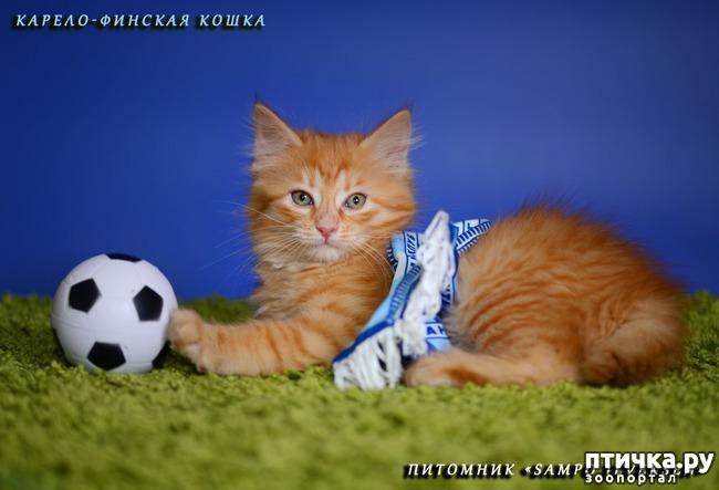 фото 8: Карельские котята, вот такие мы бываем!!
