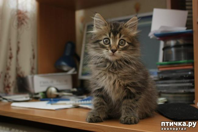 фото 9: Карельские котята, вот такие мы бываем!!