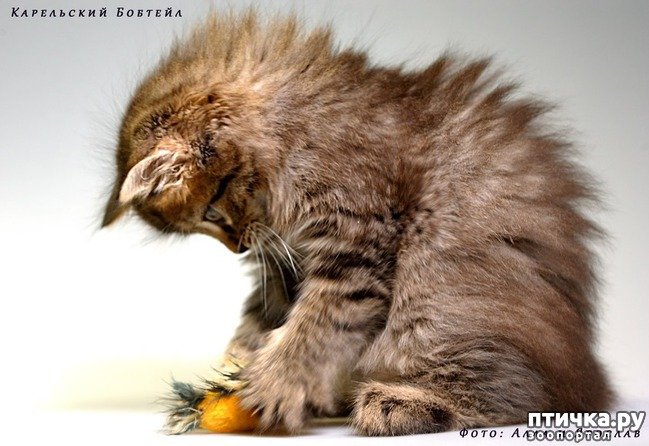 фото 10: Карельские котята, вот такие мы бываем!!