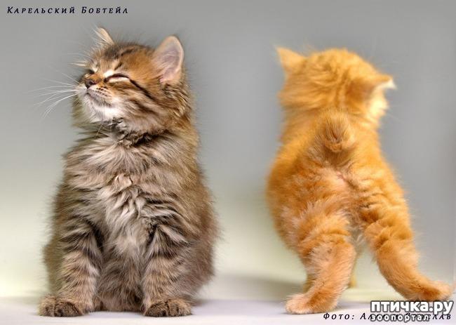 фото 11: Карельские котята, вот такие мы бываем!!