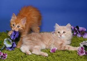 фото: Карельские котята, вот такие мы бываем!!
