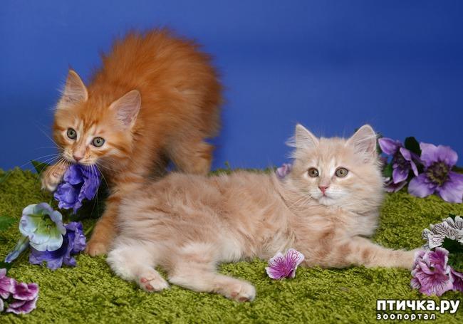 фото 1: Карельские котята, вот такие мы бываем!!