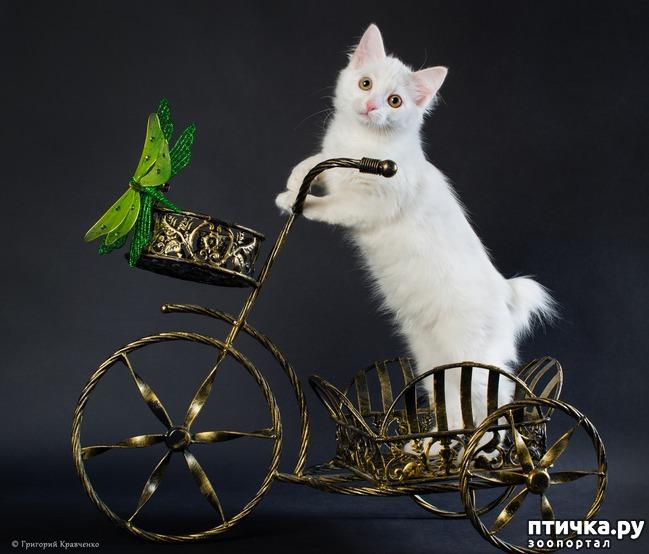 фото 2: Карельские котята, вот такие мы бываем!!
