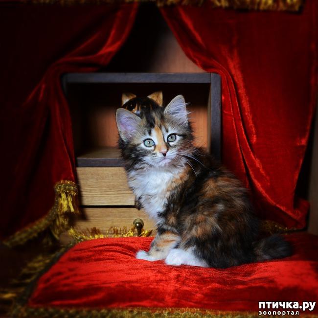фото 3: Карельские котята, вот такие мы бываем!!