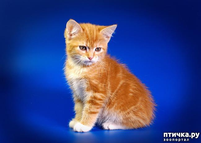 фото 4: Карельские котята, вот такие мы бываем!!