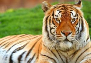 фото: Породы кошек, похожие на тигра.