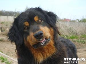фото: О породе бурят-монгольский волкодав