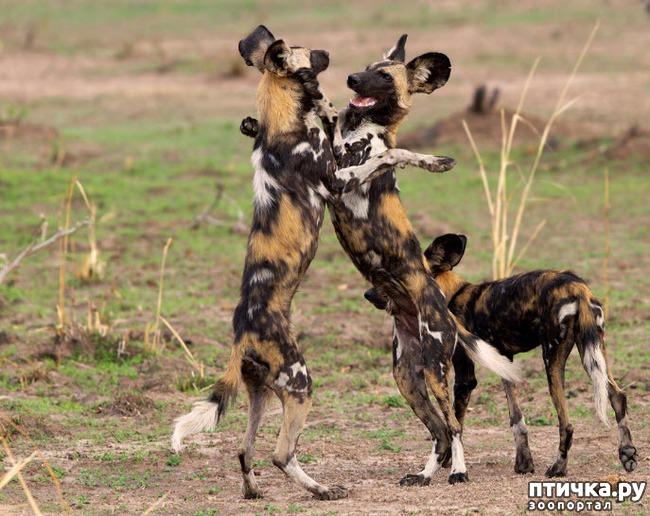 фото 2: Ещё один представитель Африканской фауны.