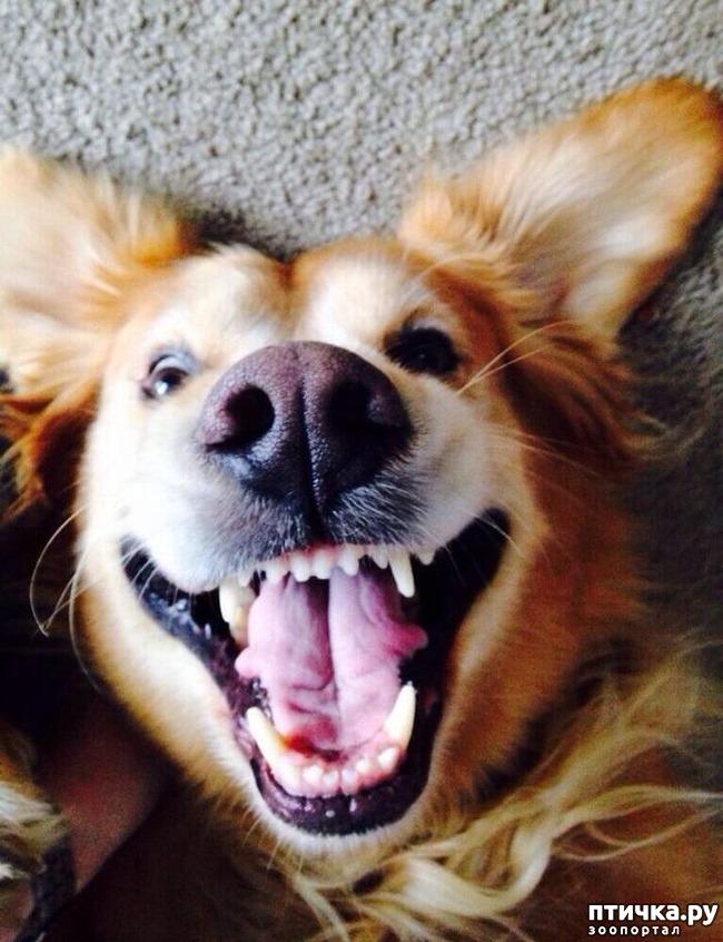 фото 10: Собаки-улыбаки