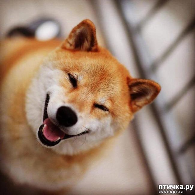 фото 13: Собаки-улыбаки
