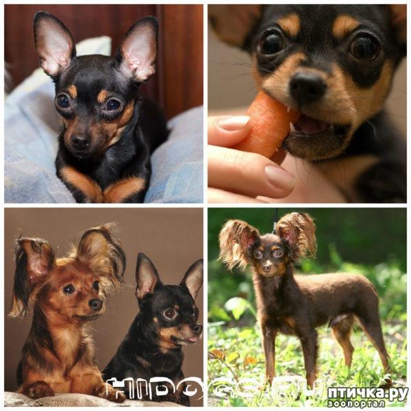 фото 27: Карлики в мире собак