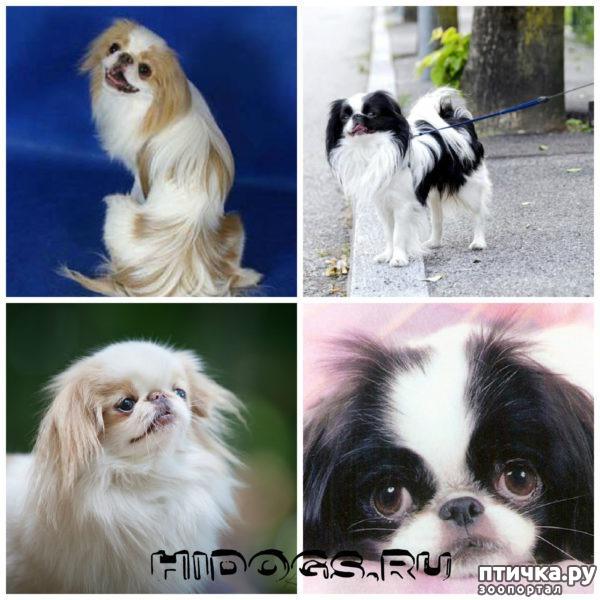 фото 29: Карлики в мире собак