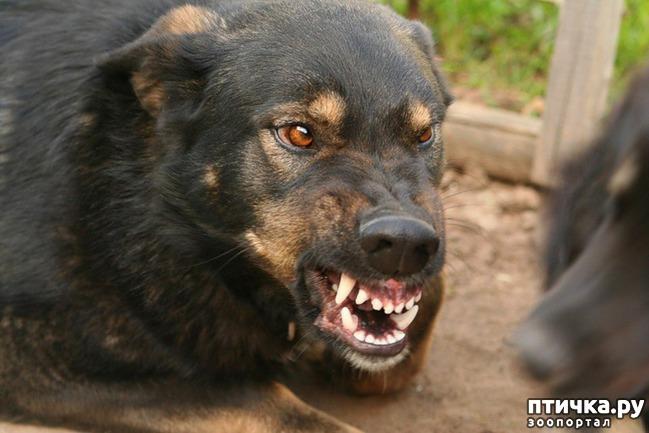 фото 1: Что делать, если собака враг...