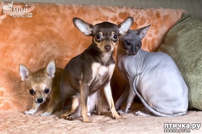 фото 4: Карлики в мире собак