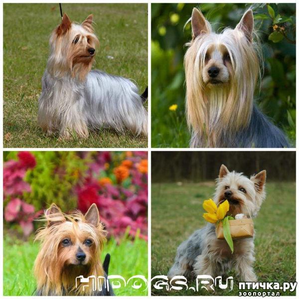 фото 8: Карлики в мире собак