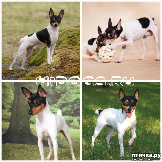 фото 9: Карлики в мире собак