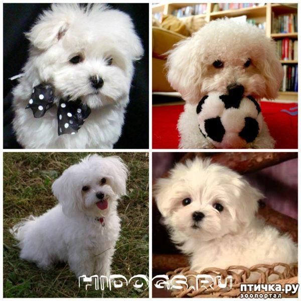 фото 13: Карлики в мире собак