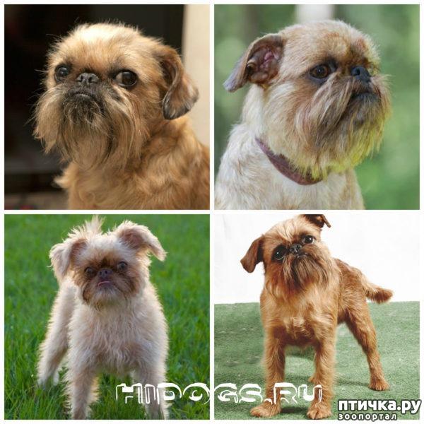 фото 14: Карлики в мире собак