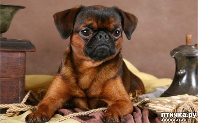 фото 15: Карлики в мире собак