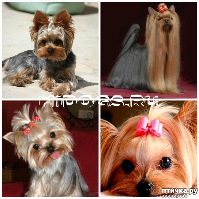 фото 17: Карлики в мире собак