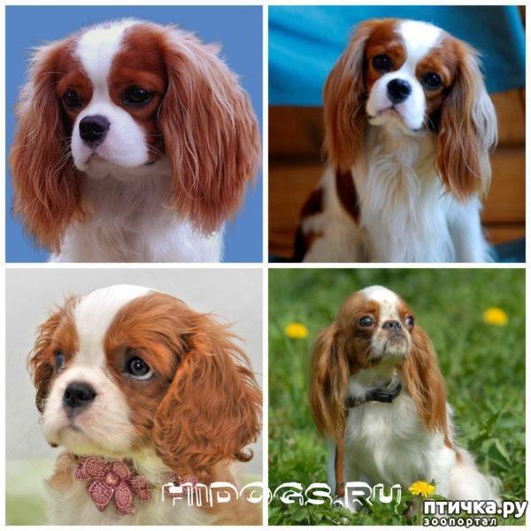 фото 21: Карлики в мире собак