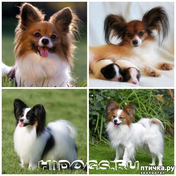 фото 23: Карлики в мире собак