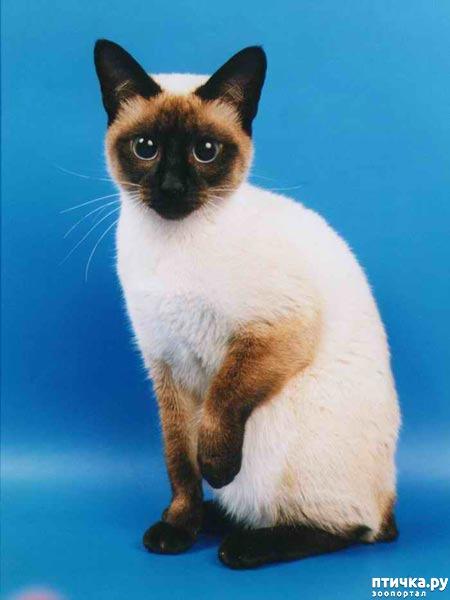 фото 1: Про сиамскую кошку Гиту и собачку Белку